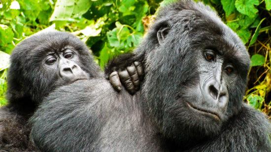 Virunga-Animals02Gorillas